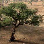 Faidherbia albida in Mali near Bandiagara