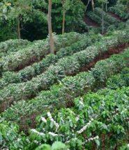 cafeeucalyptus2