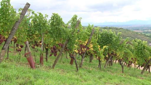 En Alsace, viticulteurs et chercheurs se mobilisent pour l'agroécologie
