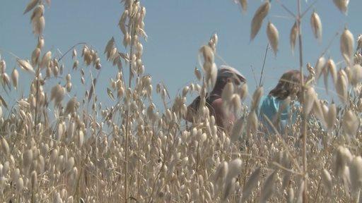 Sélection participative de blé dur biologique