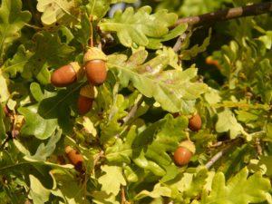Contrôle des dégâts d'insectes sur le chêne